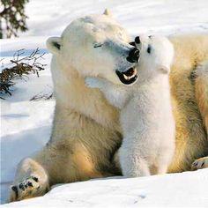 Baby polar bear & Momma