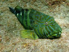 Galapagos Island Reef Fish island reef, googl search, reef fish, blue sea, galapago dream, galapagos islands, galapago island