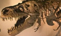 Visit to the Denver Museum of Nature and Science - life size dinosaur skeleton!