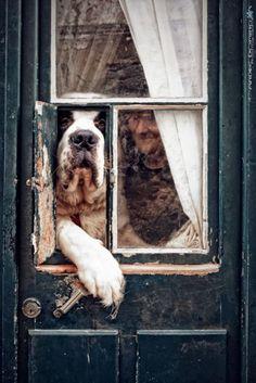 st bernards, the doors, watch dogs, window, pet, saint bernards, puppi, friend, big dogs