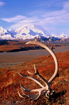 Another great add-on excursion to your Alaska Highway road trip: Denali National Park, Alaska. denali nation, nation park, antlers, caribou antler, natur, national parks, place, alaska denali, alaska beauti