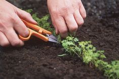 Snip your carrot tops rather than thinning them to prevent carrot fly!