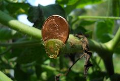 using a copper penny circa 2008 to fight blight with antimicrobial effect of copper