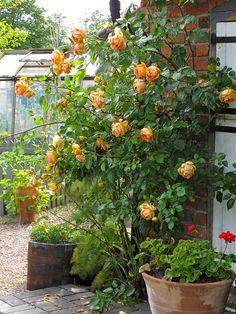 'Lady of Shalott' climbing rose
