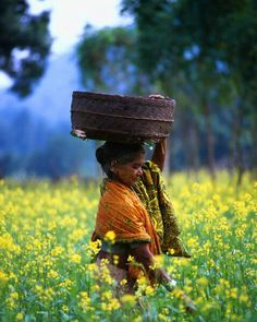 woman harvesting oil seed, kondh tribe, orissa, india