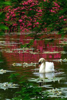 Swan, Sheffield Park, Sussex, England