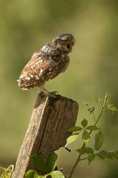 Fence Post and an Owl