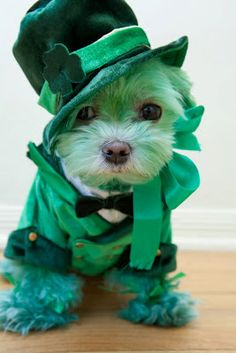 St. Patrick's Day dog. So cute