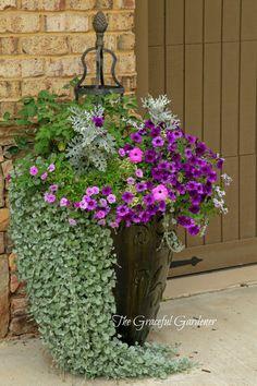 Container Garden Ingredients: Petchoa SuperCal 'Poppin Blue', Calibrachoa 'Double Amethyst', Petunia Glamouflage 'Grape', Scaevola 'Romeo', Dusty Miller, Dichondra 'Silver Fall', Bourbon rose 'Mystyic Beauty'.