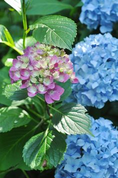 can never pass up a hydrangea