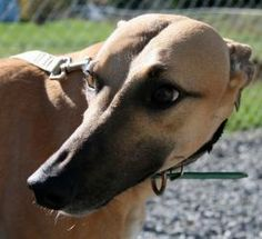 #MAINE ~ Fresno is an #adoptable #Greyhound #Dog in #Augusta. Kane's Fresno is a beautiful red fawn female  retired from Birmingham,Al. Call today for more information Greyhounds stand between 26 and 29 inches...