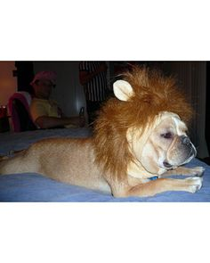 The French Bulldog Lion