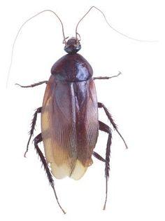 How to Make a Non-Toxic Roach Exterminating Formula to Kill Roaches