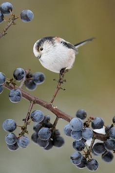 ~~Long-tailed Tit (Aegithalos caudatus) by m. geven~~