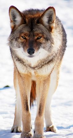 Coyote   ...........click here to find out more     http://googydog.com