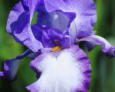 A refreshing purple and white Iris flower shares her elegant beauty in the early morning hours.
