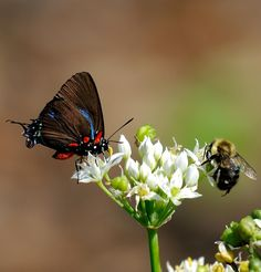 Great Purple Hairstreak and Bumble Bee on Garlic Chives