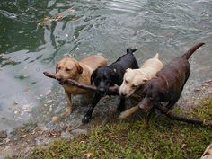 awww, anim, silly dogs, ador, big stick, branches, red black, furry friends, dogs labs