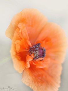 poppy by Kim Klassen, via Flickr