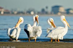 These pelicans just look like they are having a great conversation. #galvestoncom   With more than 500 species of birds residing, wintering, or migrating through southeast Texas, the Galveston Bay Estuary is the largest and most productive on the Texas coast.     http://www.galveston.com/birding/