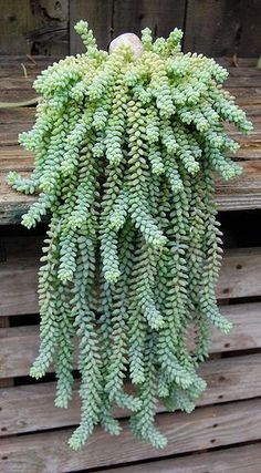 Indoor plant...donkey tail. These are so cool! I grew this in WI inside but here in the low desert outside it will not withstand summer heat.