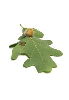 hedgehog gall on white oak (mary jo hoffman)