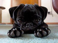 Adorable black baby pug #pugs