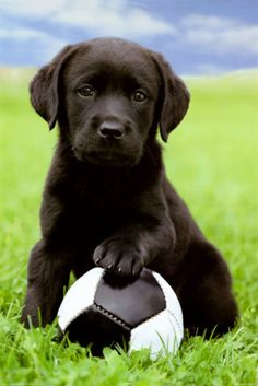 Black Lab puppy with ball.
