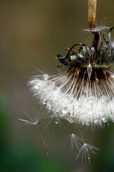 The Dew and the Dandelion. dandelion, seed, natur, fairi, beauti, morning dew, dew drops, flower, photographi