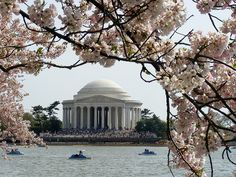 Cherry Blossoms in Bloom; Washington D.C.    The Cherry Blossom Festival commemorates the 1912 gift of Japanese Cherry Trees from Mayor Yukio Ozaki of Tokyo to the city of Washington. They were almost removed in 1937/38 so the Jefferson Memorial could be built. Thankfully, the trees were not removed and the memorial could still be built. The festival draw millions of visitors each year from all around the world.