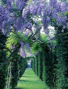 wisteria at the La Ballue Castle gardens