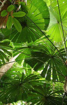 Umbrella ferns.