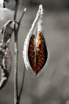 ✯ Milkweed Pod :: Julian Chandler Photography ✯ I remember having a field full of these at my house when I was a kid...
