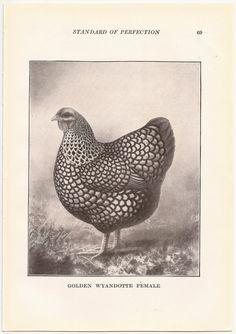 1910 Vintage GOLDEN WYANDOTTE Poultry