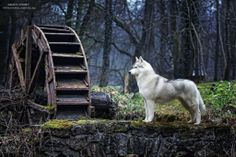 Nordic dog.
