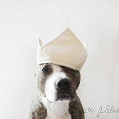 pit bull is king anim, pet girl, dogs, crowns, babi dog, doggi, pit bulls, dog photography, pet boy