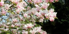 bloom 2013, neighbour magnolia, full bloom
