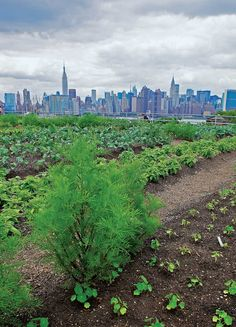 Eagle Street Rooftop Farm in Brooklyn overlooks lower Manhattan's famous skyline. pinned by @dakwaarde