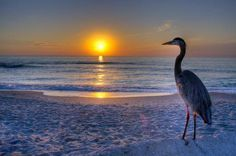 Great blue at sunset on Captiva Island FL