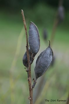 Baptista Seed Pods