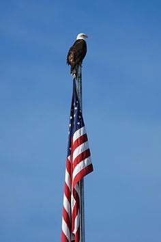 Bald eagle and the American flag