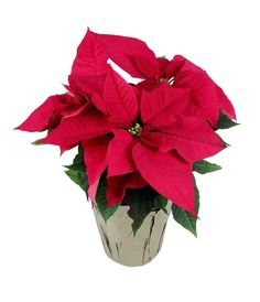 Did you guess right? This poinsettia is one of our Black Friday deals!