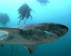 Broad Nose Seven-Gill Shark