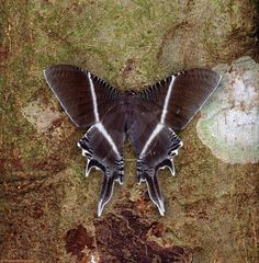 Clear Wing Moth on bark