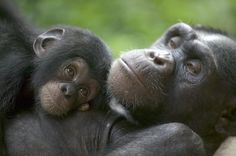Chimpanzee mother and infant