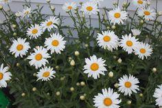 The daisies are blooming, the daisies are blooming!!