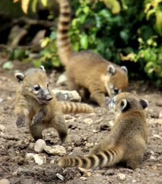 Baby Ring-Tailed Coatis, also known as the Brazilian aardvark...awww