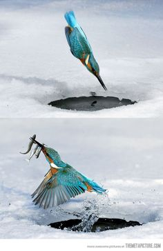 Kingfisher.  (KO) what an amazing athlete! And beautiful to boot!