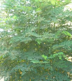 Benefits Of Moringa Powder | Moringa oleifera benefits our entire body, the moringa plant has been ...