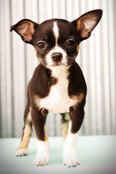 boston terrier/chihuahua mix ♥ More